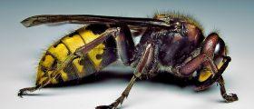 Mortale puntura di vespa